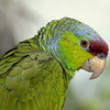 Blue Throated Conure