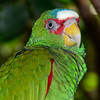 White Fronted Amazon Parrot