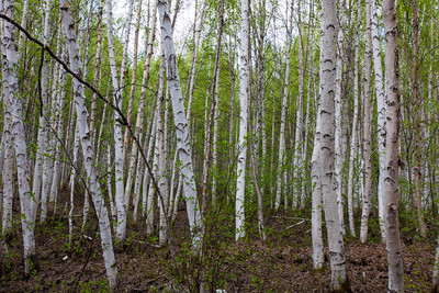 Creamer's Field Migratory Waterfowl Refuge and The Boreal Forest Trail, Fairbanks, Alaska