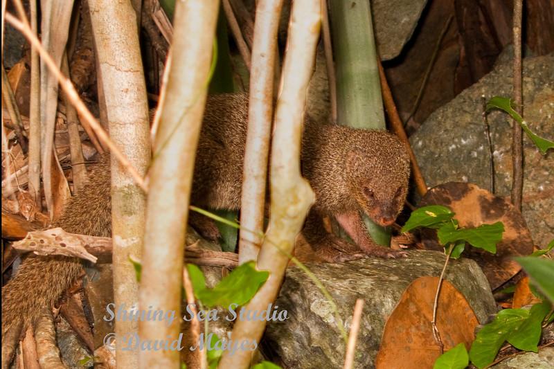 Mongoose, St John USVI