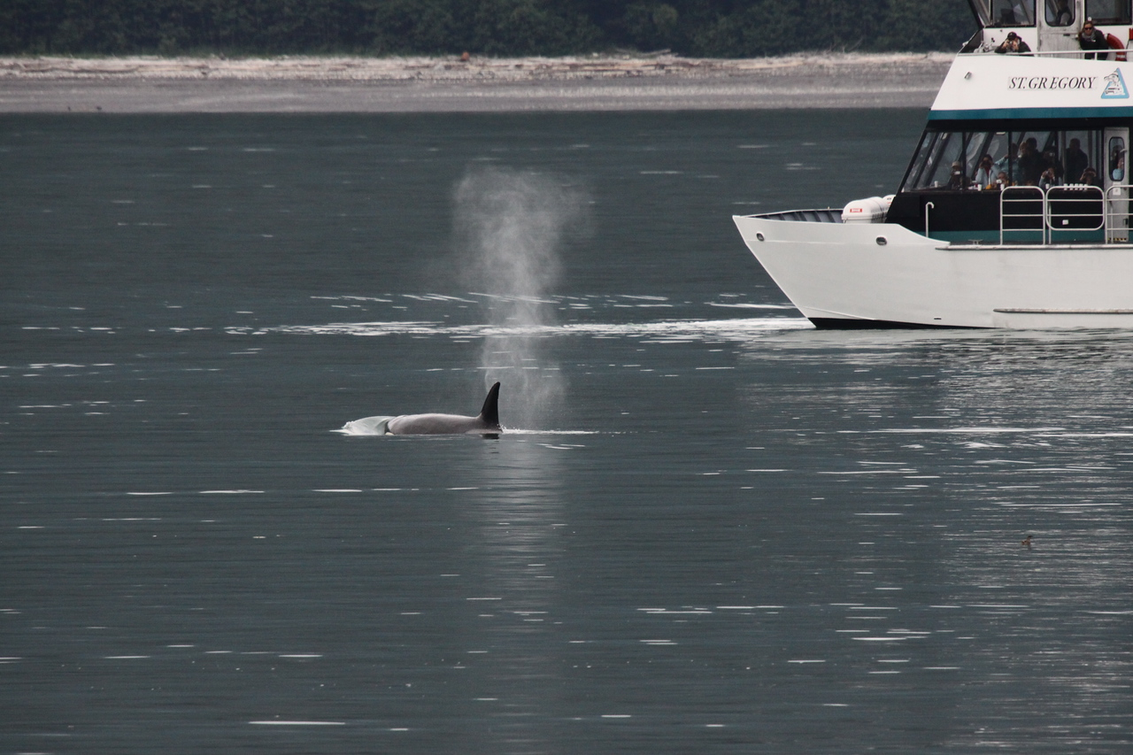 Tour boat viewing the Orca.  They can only stay near a whale 30 minutes and must maintain a minimum distance.