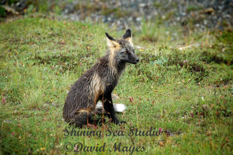 Artic Fox, Denali Alaska