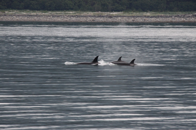 Orcas in a bay in Juneau