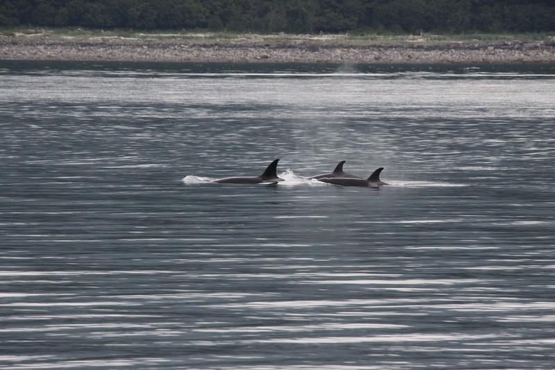 Orcas in a bay in Juneau