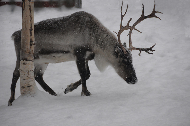 Reindeer at North Pole, Alaska