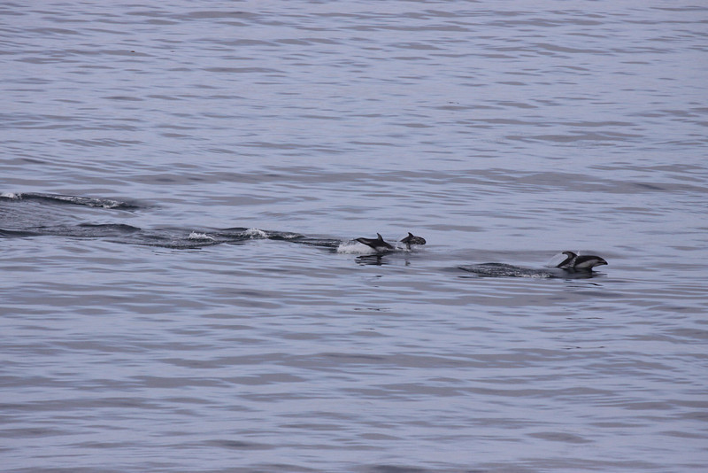 Dolphins on the move