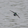 Violet-green Swallow, Crozet, 26 March 2011
