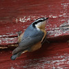 Red-breasted Nuthatch, Batesville, 15 January 2017
