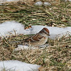 American Tree Sparrow, Old Trail, Albemarle Co., 10 January 2010