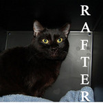 Rafter was adopted from the Cat House and Adoption Center on Saturday, January 15, 2011.<br /> <br /> Rafter<br /> <br /> Way up high … <br /> <br /> Rafter enjoys staying up high and watching from the best view in the house or following you around to make sure you are not slacking on your household chores as he waits for his quality time with you.
