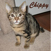 Rufous, Chippy and Anna (brothers and sister) were adopted from the Cat House and Adoption Center on Saturday, December 18, 2010.<br /> <br /> Chippy<br /> <br /> Flitting around from place to place, Chippy is a happy go lucky little guy. From his tiny tail to his warm nose, he will worm his way into your heart.