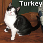 Turkey and Pie (brother and sister) were adopted from the Cat House and Adoption Center on Friday, January 14, 2011.<br /> <br /> Turkey<br /> <br /> More Turkey please.<br /> <br /> Save a place for Turkey at the table. This wonderful boy is charming and mellow and will fill your home with warmth and love for many holidays to come.