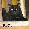 BC was adopted from the Cat House and Adoption Center on Saturday, January 15, 2011.<br /> <br /> BC<br /> <br /> Boy Cat. BC has many great adjectives that describe him – black, beautiful, brilliant, best, bright and buoyant.  He has a great personality that radiates from his gorgeous coat and his gold eyes.