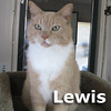 Lewis was adopted from the Cat House and Adoption Center on Sunday, July 31, 2011.<br /> <br /> Lewis has many special interests and activities, but conversations with or without you happen throughout the day.  He is motivated by treats and will make a strong presence in your heart and home.