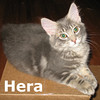 Ceres and Hera (sisters) were adopted from the Cat House and Adoption Center on Saturday, August 20, 2011.<br /> <br /> Hera<br /> <br /> Bold and beautiful. With her majestic personality and beautiful looks she will rule your house while looking for love and affection.
