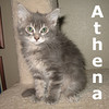 Athena was adopted from the Cat House and Adoption Center on Saturday, September 3, 2011.<br /> <br /> Athena<br /> <br /> Wise beyond her months Athena will bring smarts and sophistication to your family. Pair her with Ares and find the perfect match!