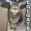 Colgate was adopted from Steamboat Animal Hospital on Monday, May 7, 2012.<br /> <br /> Colgate<br /> <br /> Brush your breath …<br /> <br /> This fine gentleman survived the removal of all his teeth and has no difficulty eating. A toothless wonder and absolute lover. Don't wait or delay, come visit Colgate today.