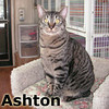 Ashton was adopted from the Cat House and Adoption Center on Saturday, May 19, 2012.<br /> <br /> Ashton<br /> <br /> Got punk'd!<br /> <br /> While Ashton was waiting for life to return to normal, he found out life is not too bad at Feline Friends. A striking boy, with a lot of tender characteristics to bring into your home and sufficient amount of love to share with you to last a lifetime.