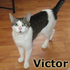 Victor has become a permanent member of his foster family on Sunday, May 6, 2012.<br /> <br /> Victor<br /> <br /> My friends call me Vic.<br /> <br /> Victor was left behind when his owner moved with no worries or wonders what would become of her feline friend. He is a great guy with a small voice that calls for your attention. Do you need attention?