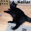 Kellar was adopted from the Cat House and Adoption Center on Saturday, April 7, 2012. <br /> <br /> Kellar<br /> <br /> Companion.<br /> <br /> Behind this beautiful fur coat is a very sweet and affectionate companion. Kellar is always grateful to meet and greet new friends. If you have been searching the web for a perfect friend, you need to meet Kellar.