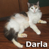 Darla was adopted from her foster home on Sunday, September 9, 2012.<br /> <br /> Darla<br /> <br /> Darling Darla-Fur.<br /> <br /> Sweet, loving and beautiful … Darla's life has been challenging and yet the patience and gratification was still showing as she raised her last litter of kittens and fostered several more orphans. Darla is ready to find a special indoor loving home that will last furever!