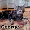 George was adopted from the Cat House and Adoption Center on Friday, November 2, 2012.<br /> <br /> George<br /> <br /> Georgie Porgie Puddin' Pie …<br /> <br /> The girls will be swarming around this handsome and loving fellow. Just look into those gold pools and you too will not be able to help falling in love. Young and striking, sweet and loving. Come meet our George.