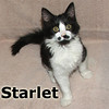 Starlet was adopted from Steamboat Animal Hospital on Sunday, September 30, 2012.<br /> <br /> Starlet<br /> <br /> Her star is on the horizon …<br /> <br /> Shining bright with personality and charisma, this adorable little lady is something to rave about. Starlet will steal your heart, so if you are not looking for a personal, sweet, funny, loving and adorable girl, don't look at her.