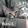 Basil was adopted from the Cat House and Adoption Center on Saturday, September 29, 2012.<br /> <br /> Basil<br /> <br /> Sweet Basil.<br /> <br /> Just like his namesake, he is great when combined with other herbs and spices. How about adding some Sage or Oregano to the mix?