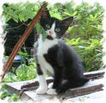 Tiger Lily's kitten  Amos adopted, 7-14-03<br /> <br /> Amos is a very personable little Tuxedo Boy.  He loves to be  entertained and charmed.