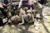 Irish Wolfhounds resting