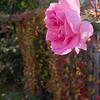 Herfst 2009. Met een bloeiende roos.