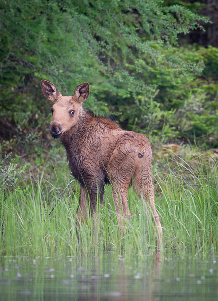 Newborn Moose Calf