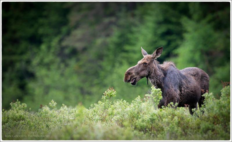 Algonquin Moose #5
