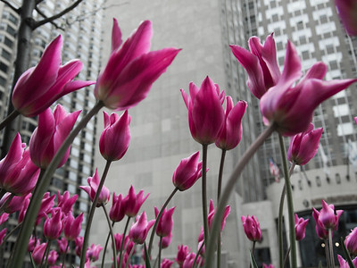 Took this and the single version on a cloudy day in Chicago during the spring.  Typically, I avoid the urban backdrop, but the contrast between the bright spring flowers with the grey buildings was interesting.