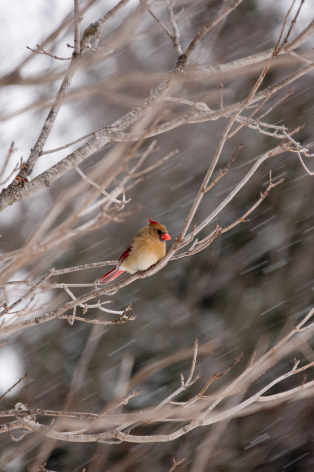 Cardinal sitting in the cold.  This is called Winter in western Illinois