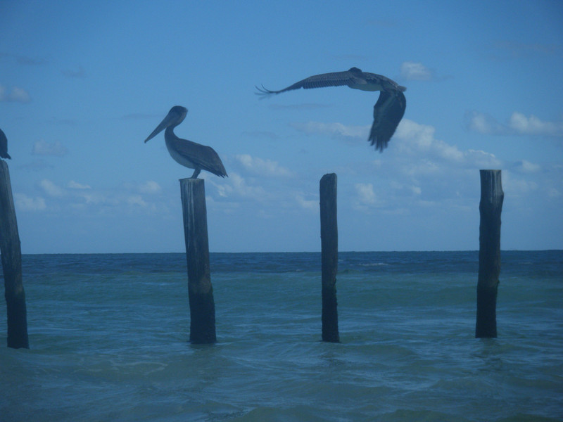 Some Pelicans in Mexico.