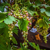 Green Grapes at a winery in Sonoma California
