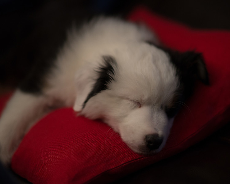 Easton's first day...only 8.2 weeks old.  Very tired from a long and exciting day.