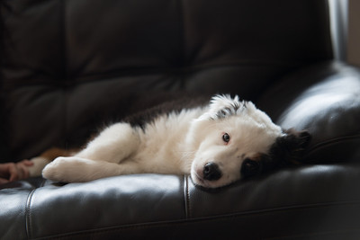 Our adorable Australian Sheppard puppy, Easton, resting on the couch