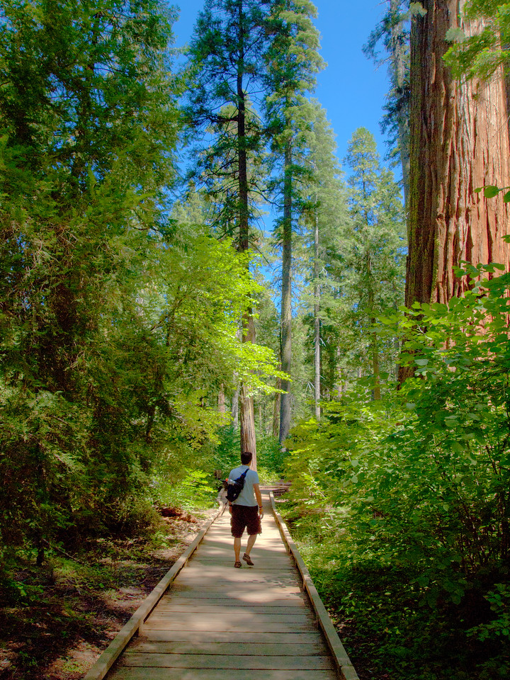My wife took this as I walked away towards the next set of Redwood trees.  It looks fake with the tree on the right...but it's all really that size.