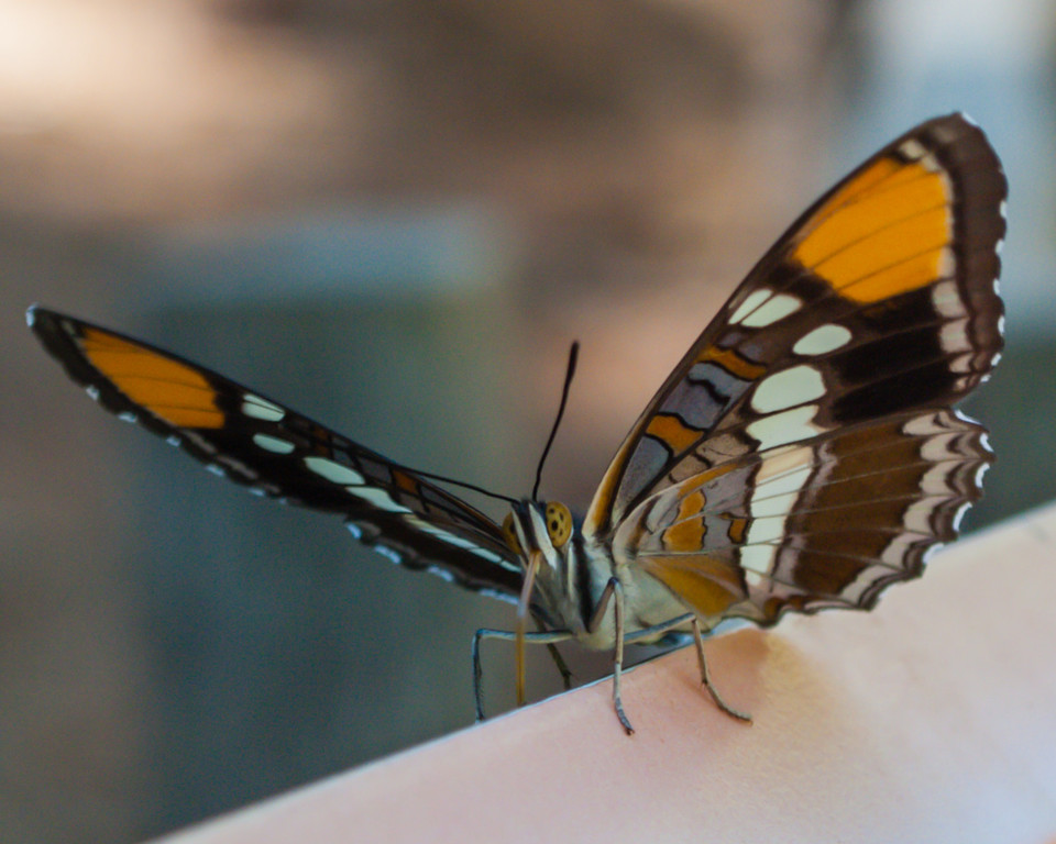 A butterfly was sitting on the sign commemorating a fallen Redwood tree.