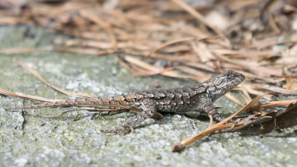 This little Gecko appears to have had his tail lost...as the new one looks like it needs a suntain.