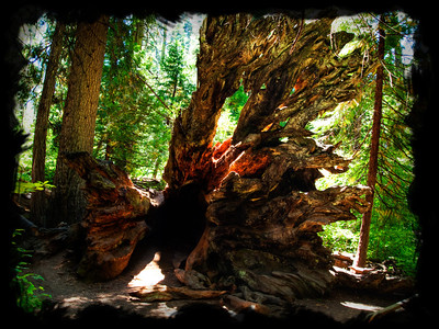 Fallen Redwood Tree in BigTrees National Park, in California