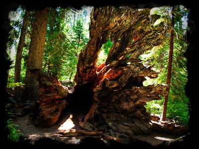 Fallen Redwood Tree in BigTrees National Park, in California