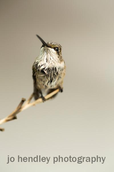 Hummingbird 9 4 14