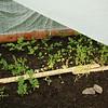Peas, turnips, radish, spinach