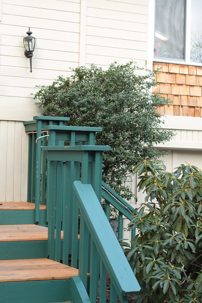 pyracantha before