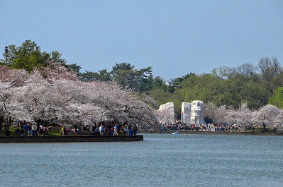 Cherry Trees at Tidal Basin, Washington DC, by Martin Luther King Memorial. March 2012