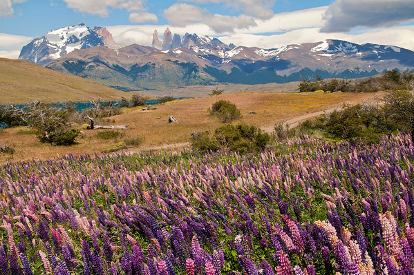 Lupins blooming near Lagunita Azul, Torres del Paine National Park, Patagonia, Chile
