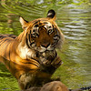 Bengal Tiger, Ranthambore Tiger Reserve, India